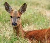 Chinese Water Deer – hydropotes inermis