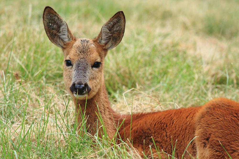 Chinese Deer Species Chinese Water Deer