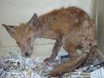 Fox with Sarcoptic Mange