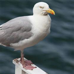 smallgull